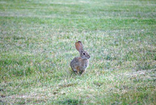 Potatos bunnies and garden 024