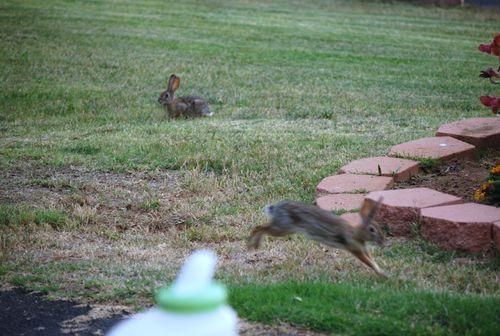 Potatos bunnies and garden 018