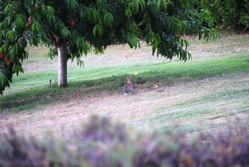 Potatos bunnies and garden 027