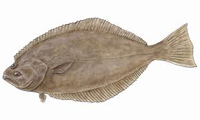 Californi halibut