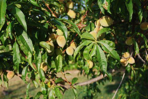 PEachES, GARDEN AND MISC 045