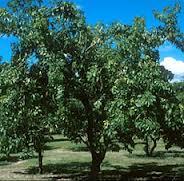 Mamey tree