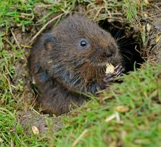 Vole in burrow
