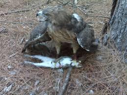 Red tail hawk kills rodent