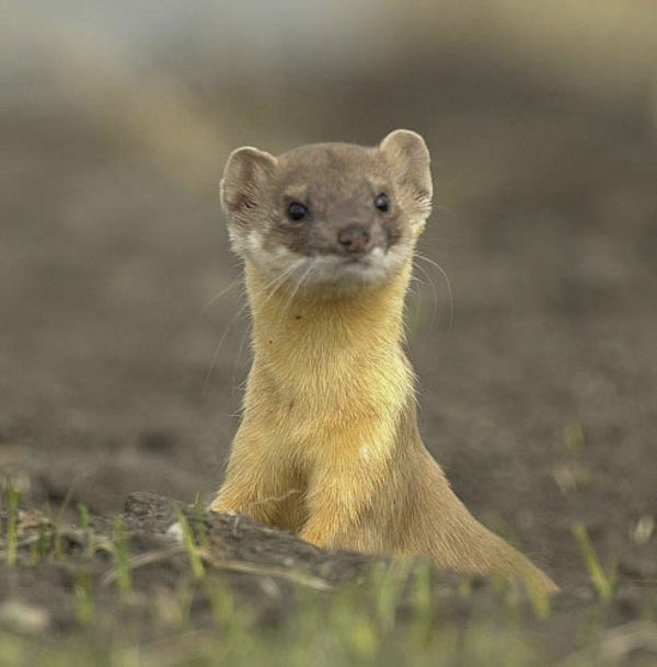 Long_tailed_weasel